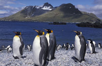 South Georgia Island King penguins and chinstrap penguins on beach von Danita Delimont