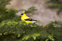 American Goldfinch male in a tree by Danita Delimont
