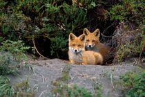 Den of red foxes by Danita Delimont
