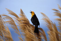Yellow-headed blackbird by Danita Delimont
