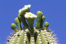 Saguaro Cactus Flower (Carnegiea gigantea) by Danita Delimont