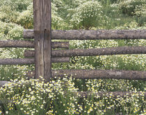Wild Chamomile around log fence (Matricaria perforata) by Danita Delimont