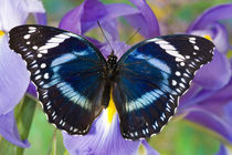 Sammamish Washington Tropical Butterflies photograph of Hypolimnas antevorta the Amani Eggfly Butterfly by Danita Delimont