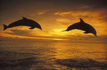 Bottlenose dolphins (Tursiops truncatus) by Danita Delimont