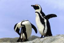 Jackass Penguins (Phalacrocorax capensis) on top of rock by Danita Delimont
