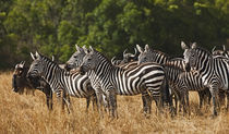 Burchell's Zebras (Equus Burchellii) as seen in the Masai Mara by Danita Delimont