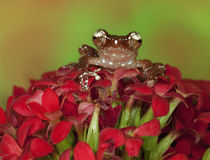 Close-up of Cinnamon Tree Frog on red flowers by Danita Delimont