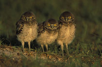 Three Burrowing Owls (Athene cunicularia) by Danita Delimont