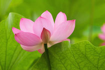 Lotus blossom with leaves by Danita Delimont