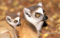 Ring-tailed lemurs (Lemur catta) by Danita Delimont