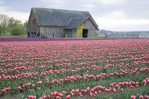 Tulip Field and Barn by Danita Delimont