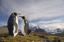 King Penguins (Aptenodytes patagonicus) in hills above shoreline overlooking massive rookery along Saint Andrews Bay by Danita Delimont