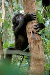 Mountain Gorilla (Gorilla gorilla berengel) von Danita Delimont