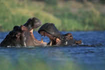 Hippopotami (Hippopotamus amphibius) fight by Khwai River by Danita Delimont