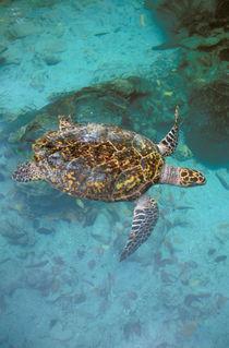 Green Turtle (Chelonia myches) von Danita Delimont