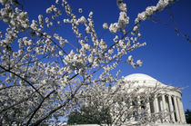 Cherry Blossom Festival and the Jefferson Memorial von Danita Delimont