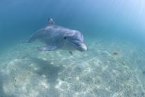 Captive Bottlenose Dolphin (Tursiops truncatus) swimming in Caribbean Sea at UNEXSO site von Danita Delimont