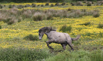 A horse running in a field of yellow wildflowers in the Irish counrtyside by Danita Delimont