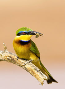 Close-up of little bee-eater bird on limb with bee in beak von Danita Delimont