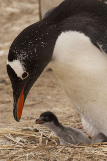 These penguins are resident and breed in the Falklands by Danita Delimont