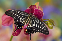 Washington Tropical Butterfly Photograph of Papilio xuthus the Chinese Yellow Swallowtail on Orchid by Danita Delimont
