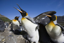 King Penguins (Aptenodytes patagonicus) fighting over nesting space in crowded rookery along Right Whale Bay by Danita Delimont