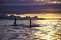 Orca or Killer whales von Danita Delimont