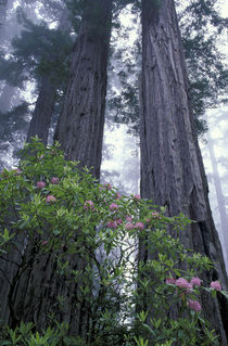 Coast Redwoods and Rhododendrons by Danita Delimont
