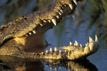 Nile Crocodile (Crocodylus niloticus) bares teeth in Khwai River at sunset by Danita Delimont