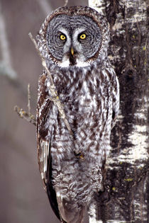 Great Gray Owl on an Aspen tree von Danita Delimont