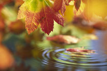 Close-up of autumn vine maple leaves reflecting in pool of water with ripple von Danita Delimont