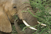 Close-up of elephant feeding on thorny Acacia tree von Danita Delimont