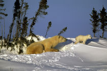Polar Bear (Ursus maritimus) and cub by Danita Delimont