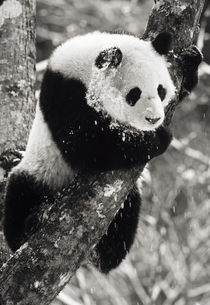 Giant Panda in winter snow at Wolong Nature Reserve; one year male von Danita Delimont