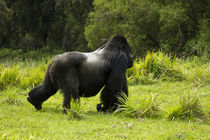 Mountain Gorillas (Gorilla beringei beringei) Sabyinyo Silverback walking across meadow by Danita Delimont