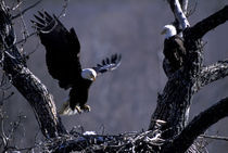 American bald eagle at nest with babies Halieaetus leucocephalus by Danita Delimont