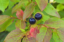 Ripe huckleberries in the Flathead National Forest of Montana von Danita Delimont