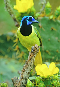Green jay perched on dead mesquite branch among opuntia flowers by Danita Delimont