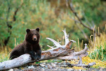 Brown Bear Cub by Danita Delimont