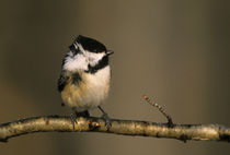 Black-capped chickadee perched in winter wind by Danita Delimont