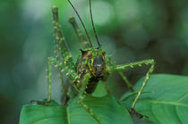 Camouflaged katydid in understory herbs by Danita Delimont