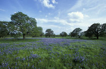 Oaks and Blue Bonnets by Danita Delimont