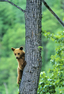 Cinnamon colored black bear in tree in Waterton Lakes National Park in Alberta Canada by Danita Delimont