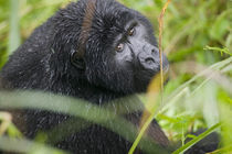 Adult Mountain Gorilla (Gorilla gorilla beringei) peers through tall grass in rainforest by Danita Delimont