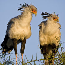 Secretary Birds at Ndutu in the Ngorongoro Conservation Area by Danita Delimont