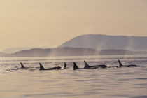 San Juan Islands Orca whales surfacing von Danita Delimont