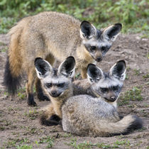 Bat-Eared Foxes at Ndutu in the Ngorongoro Conservation Area von Danita Delimont