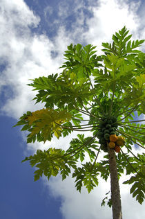 Breadfruit tree by Danita Delimont