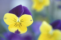 Cache Valley Detail of a Johnny Jump Up (Viola tricolor) in a garden by Danita Delimont