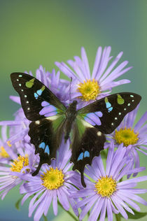 Graphium weiskei the Purple Spotted Swallowtail Butterfly von Danita Delimont